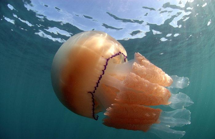 meduse-giganti-polmone-di-mare-Rhizostoma-pulmo-gran-bretagna-6