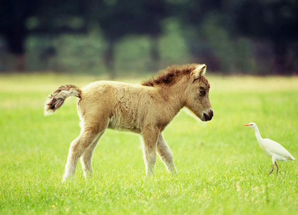 cavalli-nani-falabella-mini-pony-08