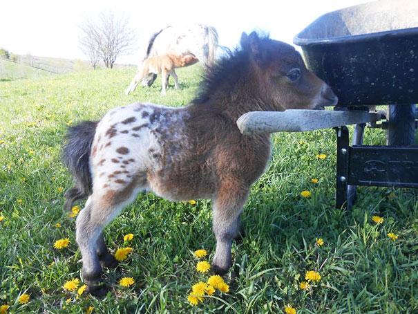 cavalli-nani-falabella-mini-pony-09