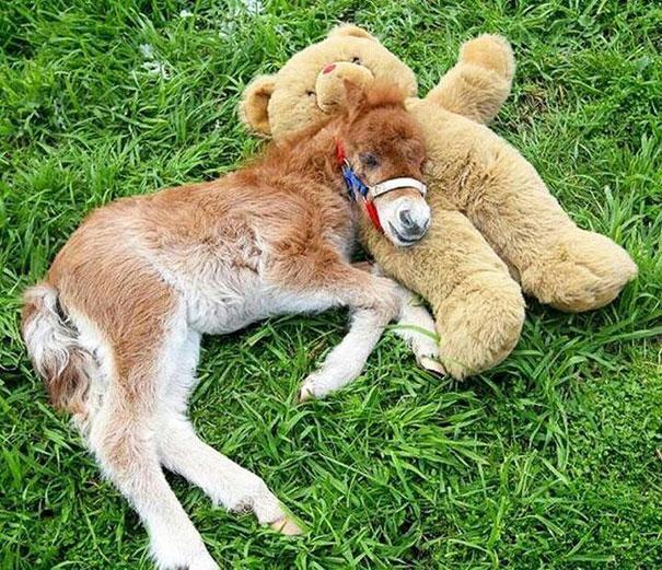cavalli-nani-falabella-mini-pony-10