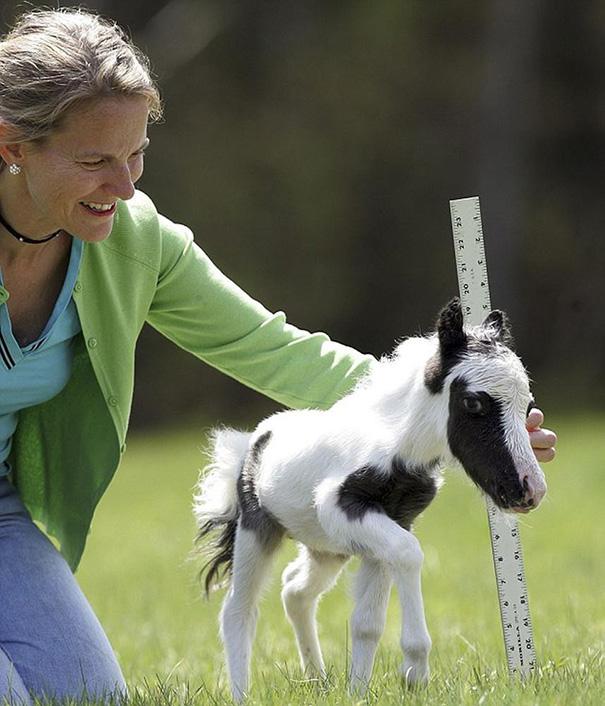 cavalli-nani-falabella-mini-pony-14