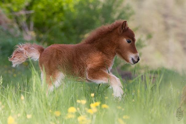 cavalli-nani-falabella-mini-pony-16
