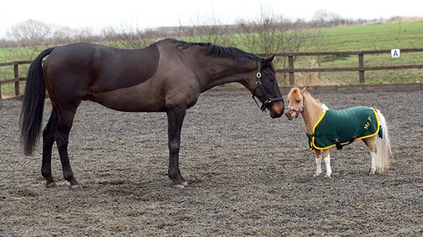 cavalli-nani-falabella-mini-pony-20
