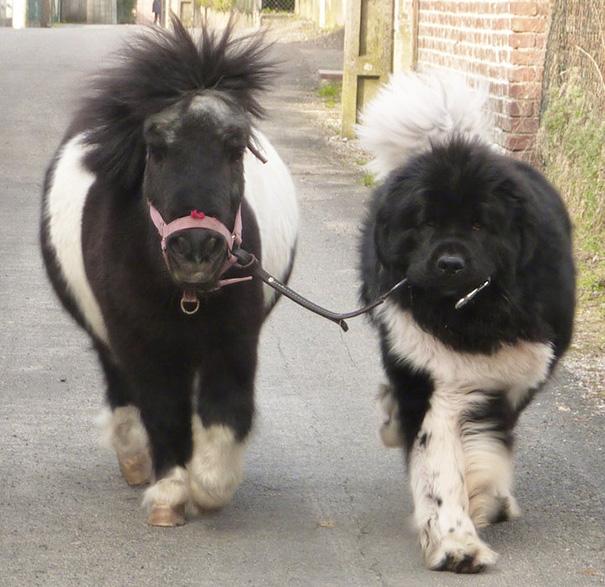 cavalli-nani-falabella-mini-pony-22