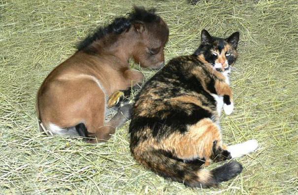 cavalli-nani-falabella-mini-pony-23