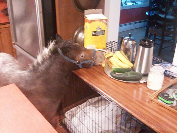 cavalli-nani-falabella-mini-pony-24