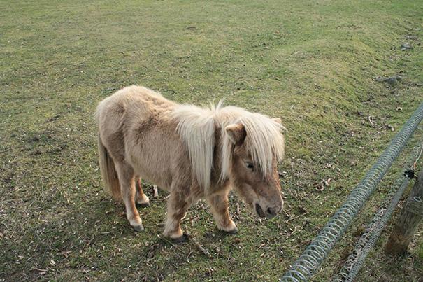 cavalli-nani-falabella-mini-pony-25