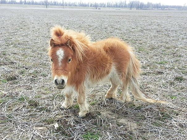 cavalli-nani-falabella-mini-pony-26