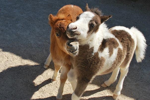 cavalli-nani-falabella-mini-pony-27