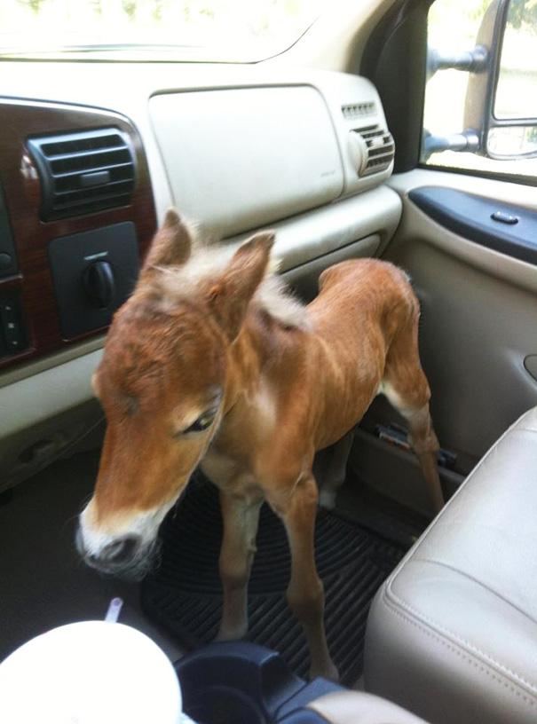 cavalli-nani-falabella-mini-pony-28