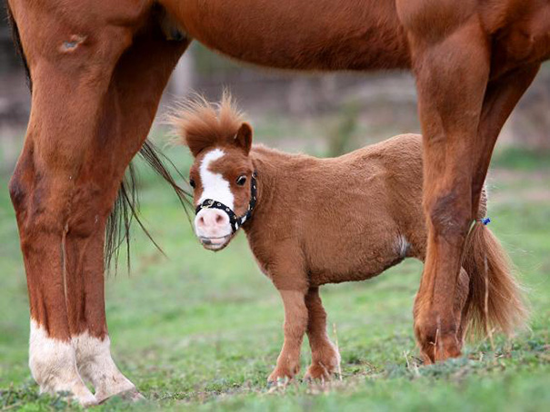 cavalli-nani-falabella-mini-pony-29