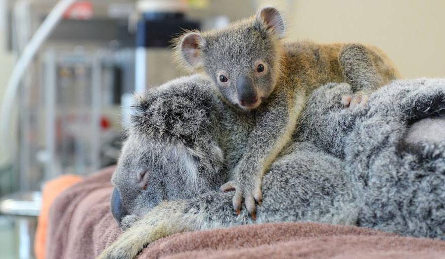 cucciolo-koala-abbraccia-madre-intervento-chirurgico-australia-zoo-1