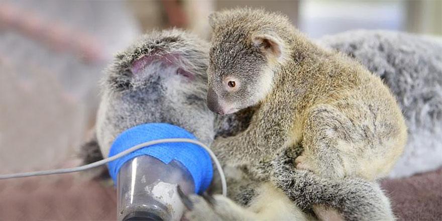 cucciolo-koala-abbraccia-madre-intervento-chirurgico-australia-zoo-2