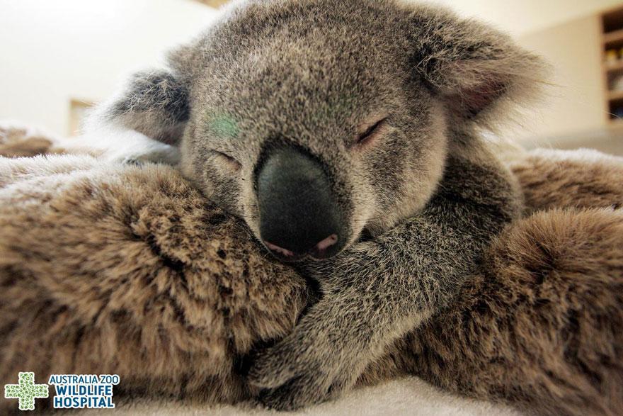 cucciolo-koala-abbraccia-madre-intervento-chirurgico-australia-zoo-3