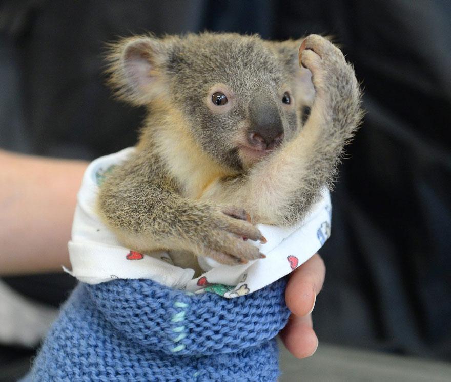 cucciolo-koala-abbraccia-madre-intervento-chirurgico-australia-zoo-4