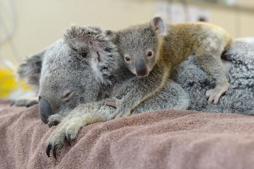 cucciolo-koala-abbraccia-madre-intervento-chirurgico-australia-zoo-5