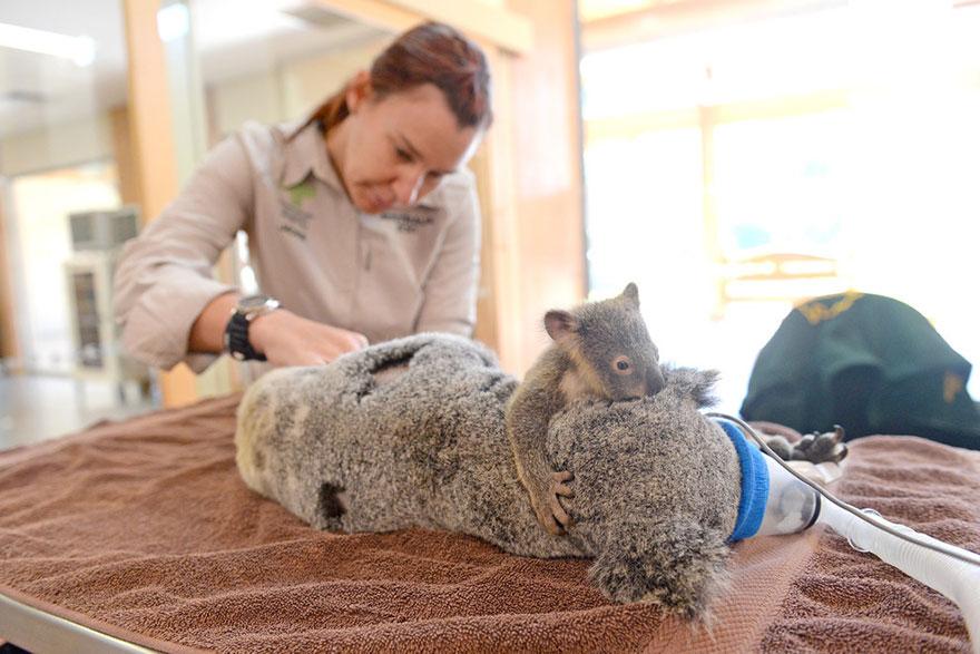 cucciolo-koala-abbraccia-madre-intervento-chirurgico-australia-zoo-6