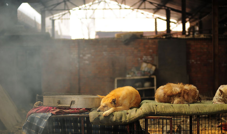 donna-salva-cani-macellati-dogs-eating-festival-cina-10