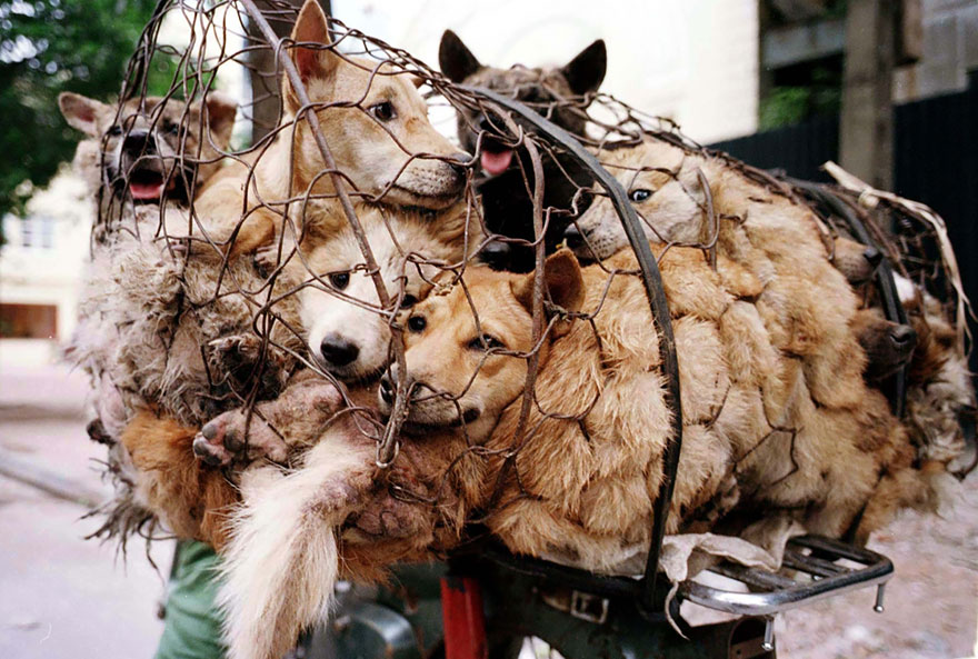 donna-salva-cani-macellati-dogs-eating-festival-cina-17