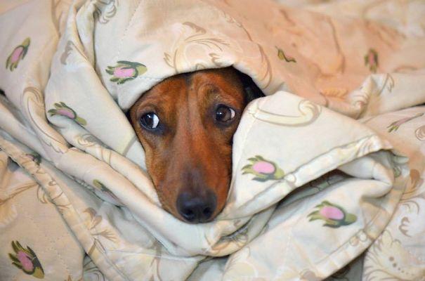 foto-di-cani-che-dormono-nel-letto-dei-padroni-01