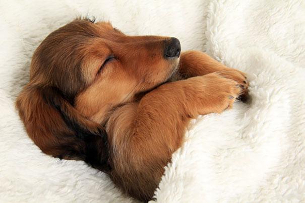 foto-di-cani-che-dormono-nel-letto-dei-padroni-08