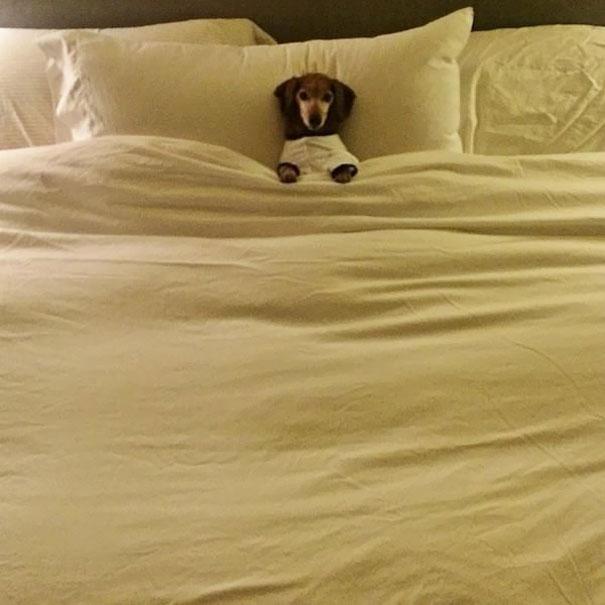 foto-di-cani-che-dormono-nel-letto-dei-padroni-11