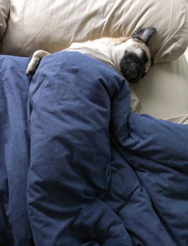 foto-di-cani-che-dormono-nel-letto-dei-padroni-15