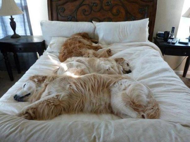 foto-di-cani-che-dormono-nel-letto-dei-padroni-18