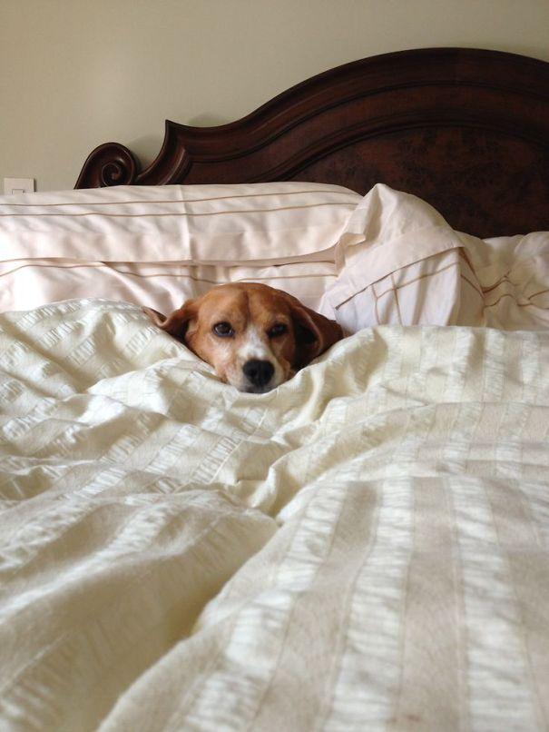 foto-di-cani-che-dormono-nel-letto-dei-padroni-22