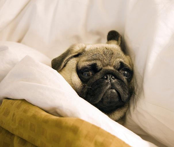 foto-di-cani-che-dormono-nel-letto-dei-padroni-23