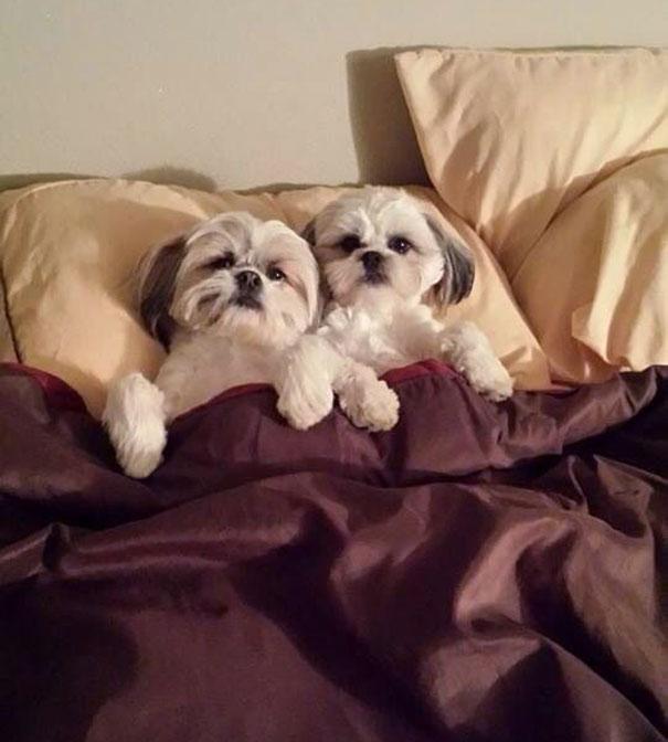 foto-di-cani-che-dormono-nel-letto-dei-padroni-25