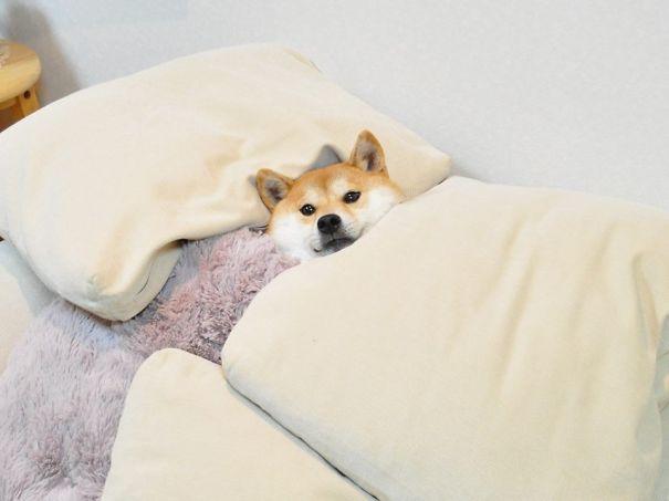 foto-di-cani-che-dormono-nel-letto-dei-padroni-32