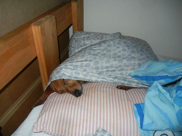 foto-di-cani-che-dormono-nel-letto-dei-padroni-33