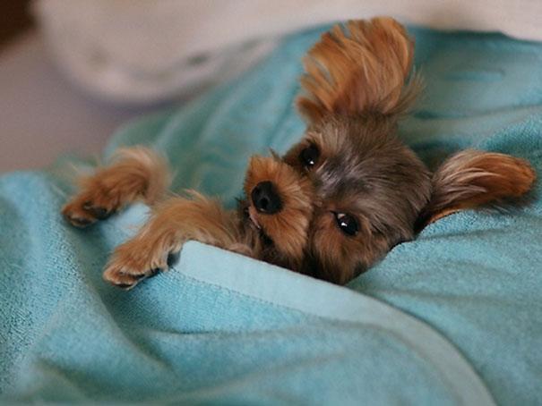 foto-di-cani-che-dormono-nel-letto-dei-padroni-34
