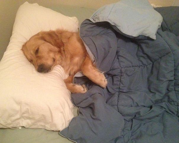 foto-di-cani-che-dormono-nel-letto-dei-padroni-36