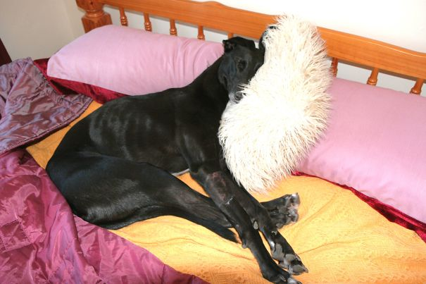 foto-di-cani-che-dormono-nel-letto-dei-padroni-39