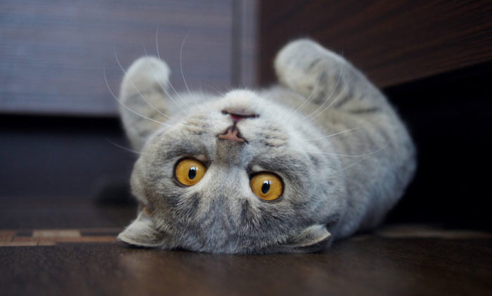 gatto-linguaccia-einstein-tira-fuori-lingua-melissa-4