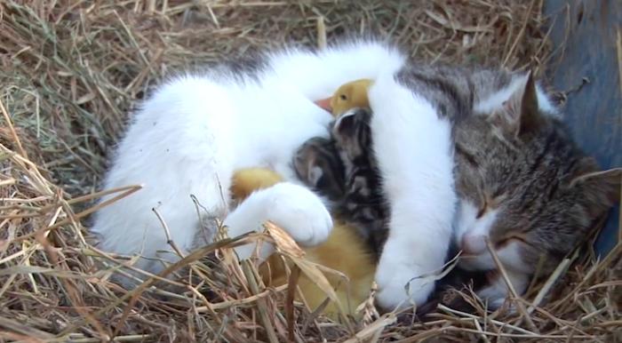 mamma-gatto-adotta-anatroccoli-orfani-1