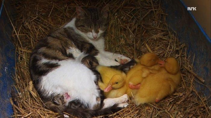 mamma-gatto-adotta-anatroccoli-orfani-11