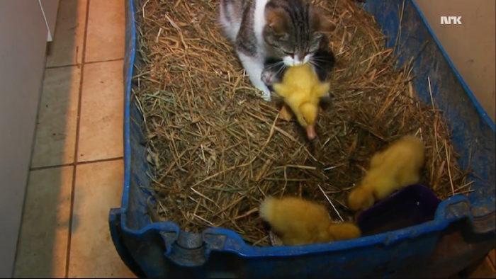 mamma-gatto-adotta-anatroccoli-orfani-2