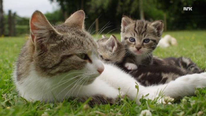 mamma-gatto-adotta-anatroccoli-orfani-3