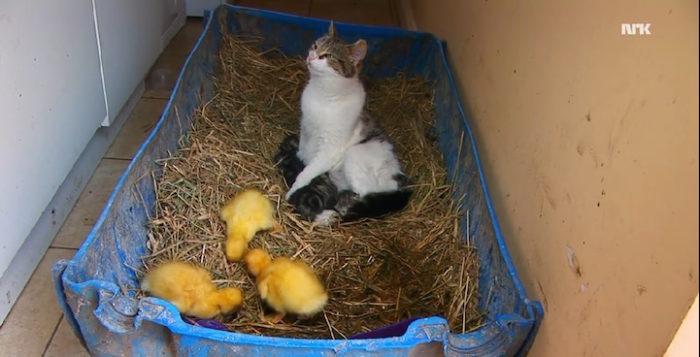 mamma-gatto-adotta-anatroccoli-orfani-6