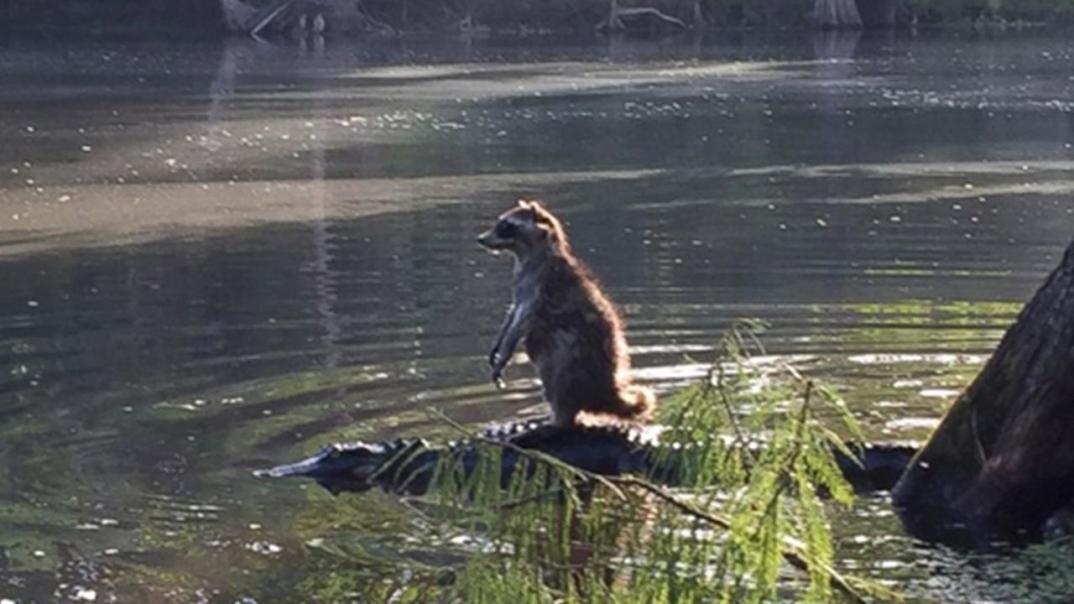 procione-in-piedi-equilibrio-su-alligatore-coccodrillo