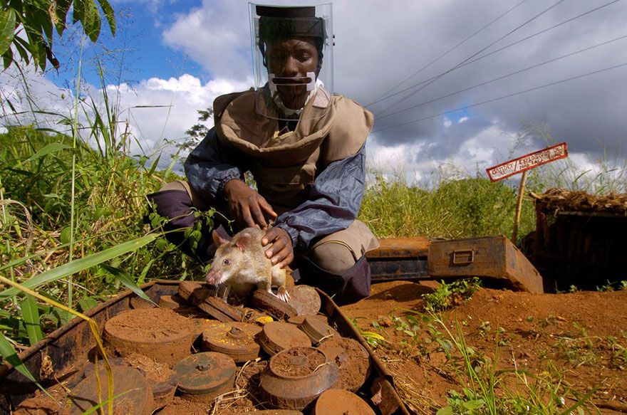 ratti-anti-mine-artificieri-esplosivi-africa-apopo-11