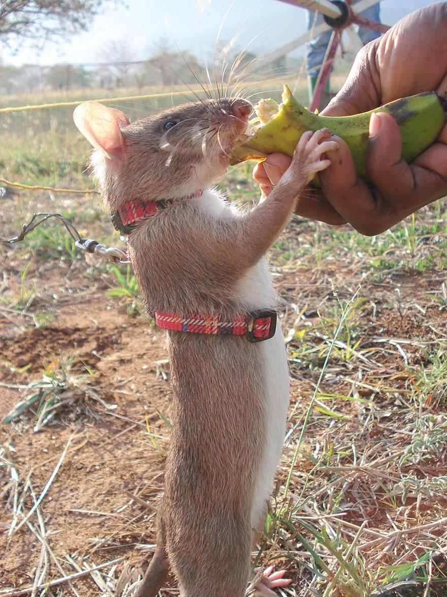 ratti-anti-mine-artificieri-esplosivi-africa-apopo-12