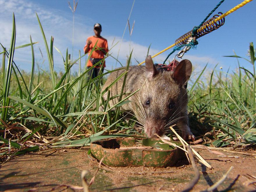 ratti-anti-mine-artificieri-esplosivi-africa-apopo-4