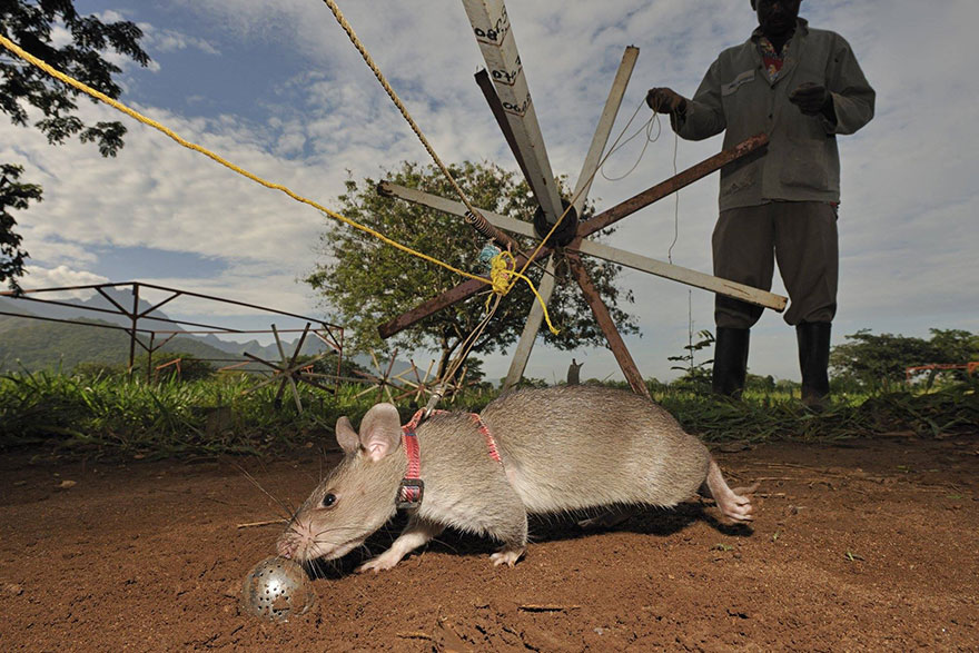 ratti-anti-mine-artificieri-esplosivi-africa-apopo-6