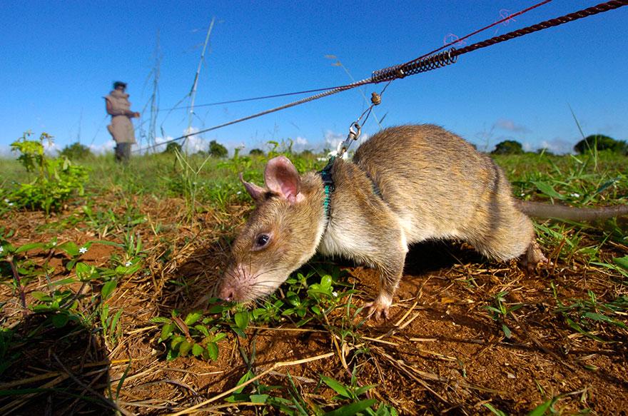 ratti-anti-mine-artificieri-esplosivi-africa-apopo-9