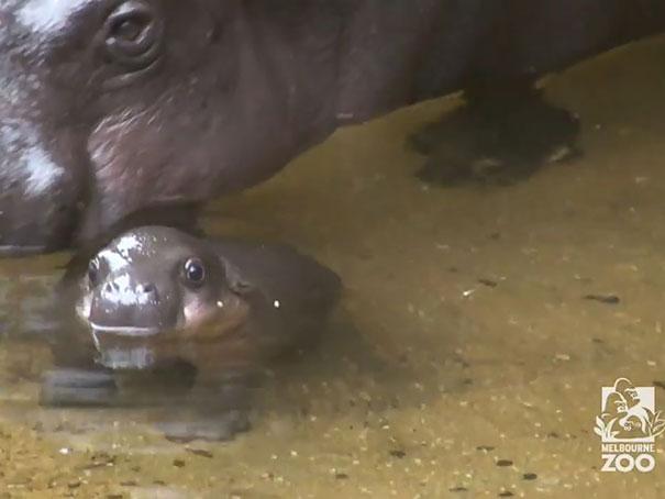 tenero-cucciolo-ippopotamo-pericolo-estinzione-nuota-zoo-australia-2