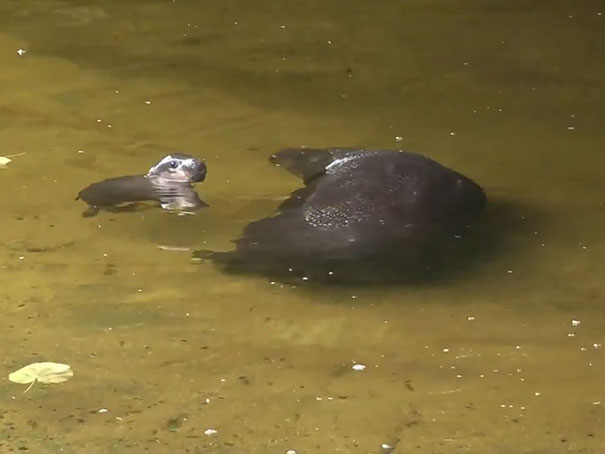 tenero-cucciolo-ippopotamo-pericolo-estinzione-nuota-zoo-australia-3